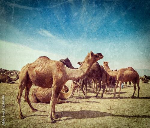 Poster Maroc Camels at Pushkar Mela (Pushkar Camel Fair), India