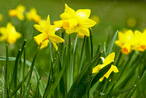 Blooming yellow daffodils