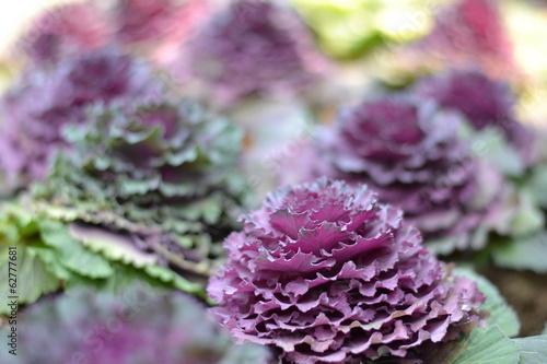 Fotografia, Obraz  cabbage