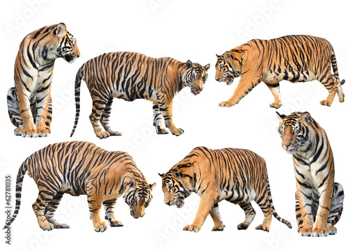 Photo sur Toile Tigre bengal tiger isolated collection