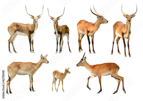 Poster Antilope collection of red lechwe isolated