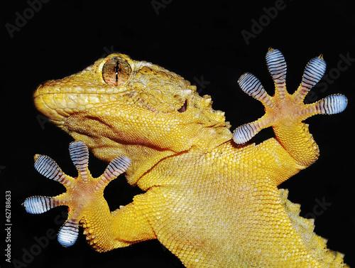 geco che mostra le sue zampe adesive