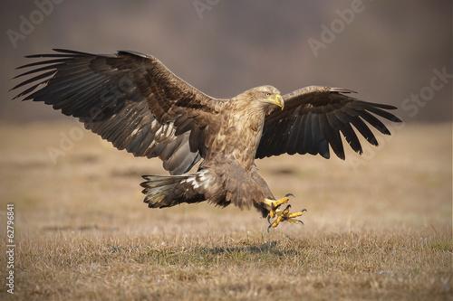 In de dag Eagle Landing eagle