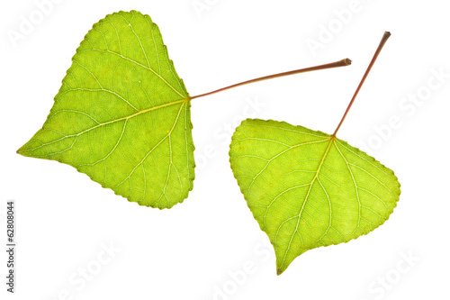 Two Poplar leaf Wallpaper Mural