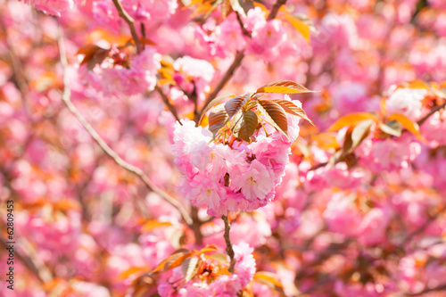 In de dag Candy roze Blooming double cherry blossom branches