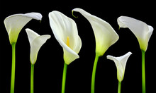 Beautiful White Calla Lilies O...