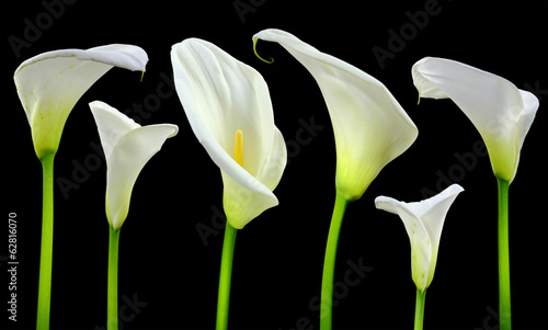 Beautiful white Calla lilies on black background Wallpaper Mural