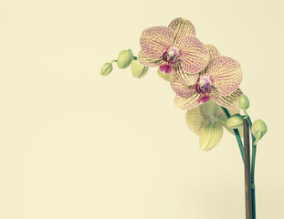Blooming Phalaenopsis orchid, with yellow and pink petals, on a yellow background.