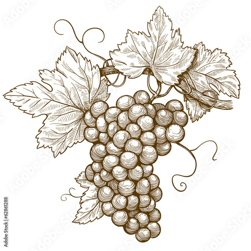 engraving grapes on the branch on white background Wallpaper Mural