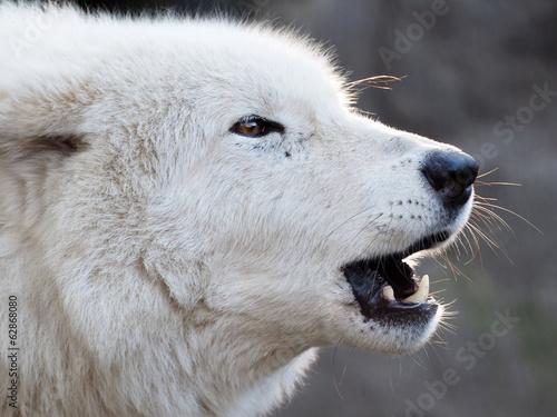 фотография  Howling white Hudson Bay Wolf