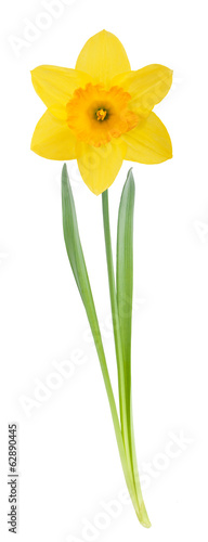 In de dag Narcis Yellow daffodil