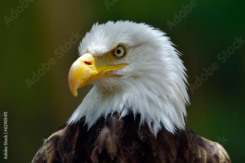 Poster Aigle The Bald Eagle (Haliaeetus leucocephalus) portrait
