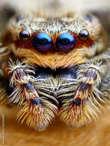 Photo sur Toile Croquis dessinés à la main des animaux Marpissa muscosa jumping spider head closeup