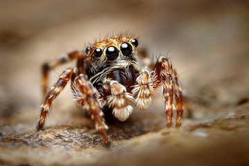Fototapeta Curious jumping spider close up