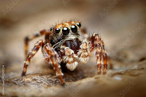 Photographie Curious jumping spider close up