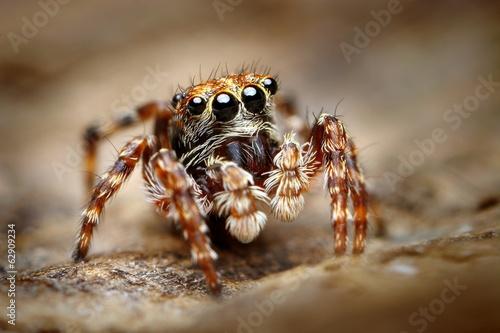 Fototapeta Curious jumping spider close up