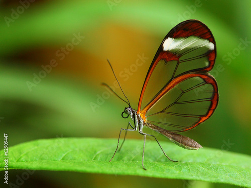 Photo sur Toile Macro photographie Glass wing butterfly (Greta Oto)