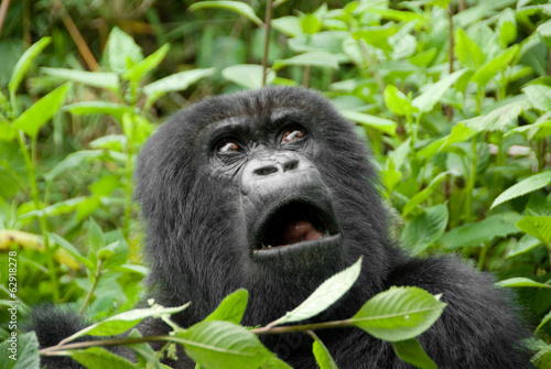 Mountain Gorilla in Volcano National Park (Rwanda) Poster