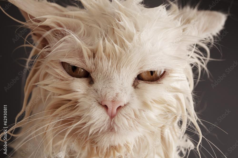 Fototapety, obrazy: Wet cat