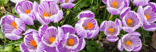 Photo sur Toile Crocus Purple crocus panorama