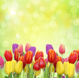 Tulipany na nierywaźnym zielonym tle