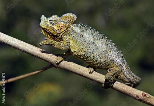 Poster Chamaleon African Chameleon