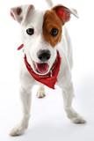 Fototapeta Zwierzęta - Jack Russell Terrier szczęśliwy pies