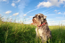 Cute Miniature Schnauzer Over Blue Sky