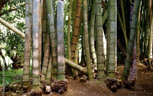 Papiers peints Bambou Arbre bambou géant
