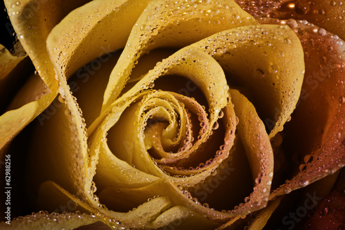 Yellow rose with rain drops