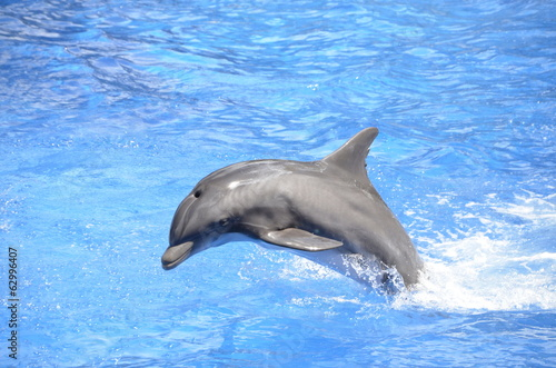 Bottlenose Dolphin Jumping in Pool