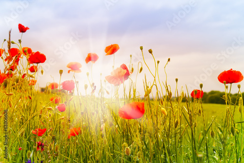 Red poppy flowers and sunbeams плакат