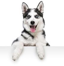 Husky Dog Portrait Above White