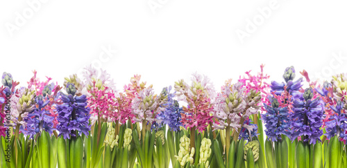 hyacinths flowers blooming in spring,banner,border, isolated #63060000