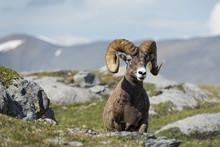 Big Horn Sheep Portrait While ...