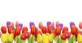 Tulipany na białym tle