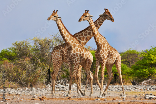 Keuken foto achterwand Giraffe three giraffes walking in Etosha National Park