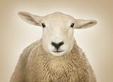 Zbliżenie owiec głowy przed kremowym tle - 63137455