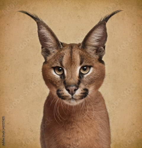 Poster Lynx Caracal, 6 months old, in front of brown background