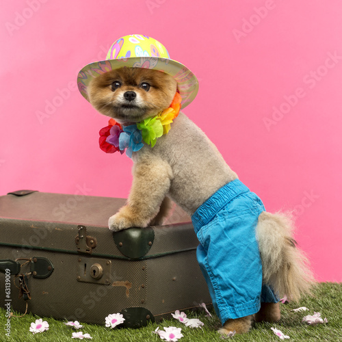 Fototapety, obrazy: Pomeranian dog, shorts and Hawaiian lei, leaning on suitcase