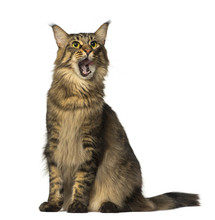 Maine Coon Sitting And Looking