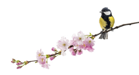 great tit perched on a flowering branch, Parus major