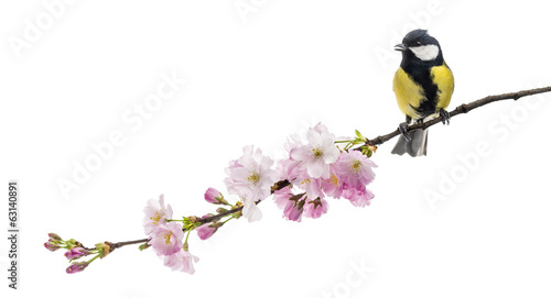 Fototapeta premium great tit perched on a flowering branch, Parus major