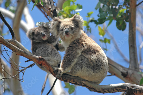 Spoed Foto op Canvas Australië Wild Koalas along Great Ocean Road, Victoria, Australia