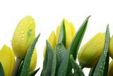 Fototapeta Tulipany - tulipany