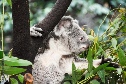 Staande foto Koala Koala eating