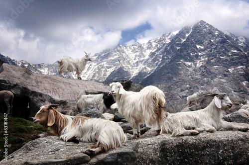 Pashmina goat Fototapeta