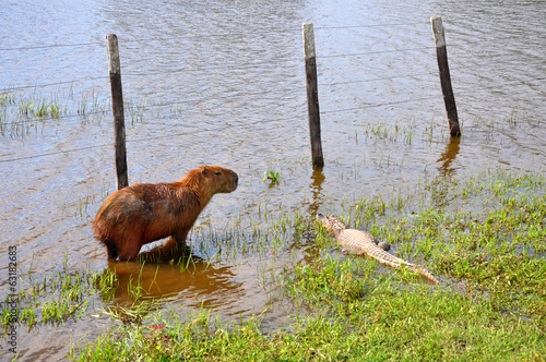 Fotografija  Flooded farm with capibara and caiman, Pantanal, Mato Grosso (Br