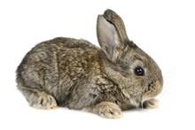 Little Rabbit Isolated On Whit...