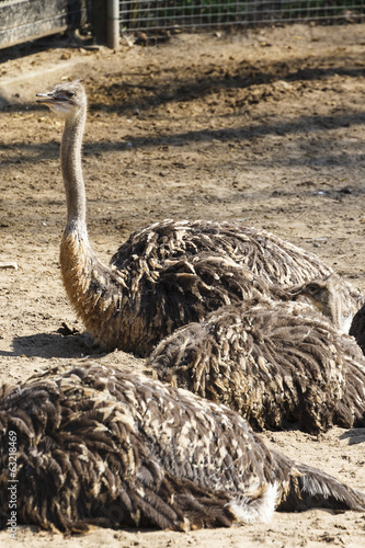 Aluminium Prints Ostrich Struisvogel